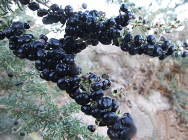 black fruit wolfberry